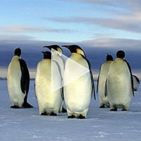 emporer_penguins_weddell_sea